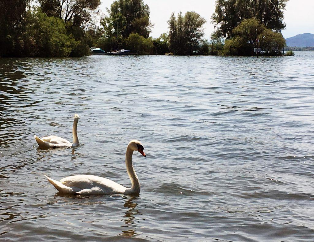 호수에서 흔히 보이는 백조